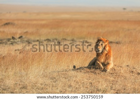 Male lion lying in the grass at sunset in Masai Mara, Kenya - stock photo