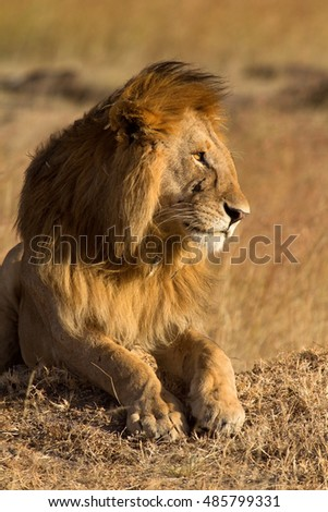 Male lion lying in the grass at sunset in Masai Mara, Kenya. Shot at sunset. Vertical shot, side view