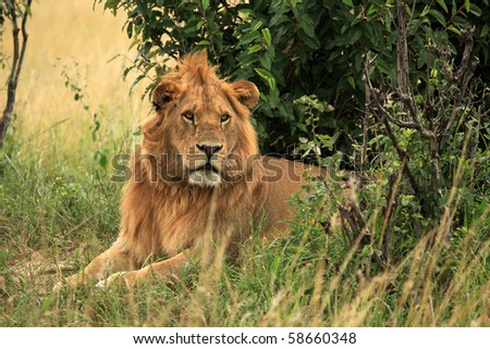 Male Lion - Maasai Mara National Park in Kenya, Africa - stock photo