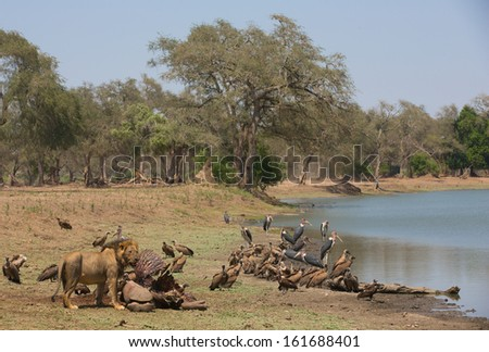Male Lion (Panthera leo) by Hippopotamus carcass (Hippopotamus amphibius), White-backed Vulture ( (Gyps africanus) and Marabou Stork ((Leptoptilos crumeniferus) waiting for their turn - stock photo