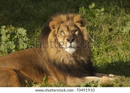 Male Lion (panthera Leo) resting after a meal