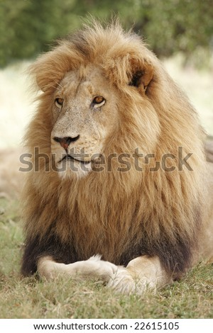 Male lion, Panthera leo, resting in the shade.