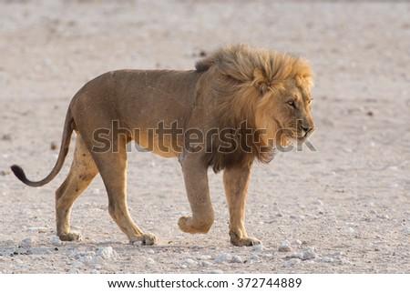 Male lion (Panthera leo) walking - stock photo