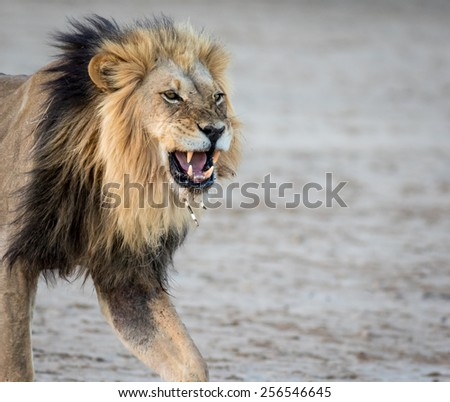 Male Lion Porcupine Needle face - stock photo