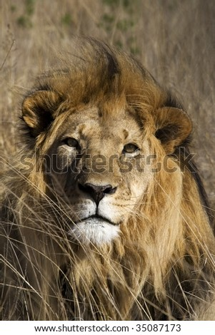 Male lion portrait in the South African bushveld