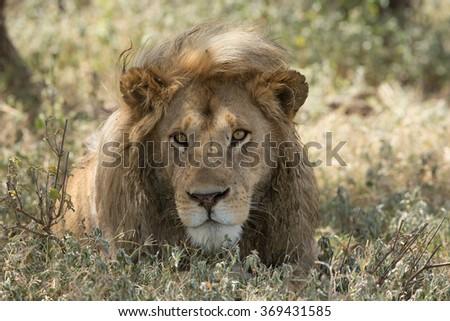 Male Lion portrait, Serengeti National Park, Ndutu, Tanzania - stock photo