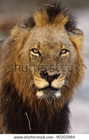 Male Lion portrait taken in greater kruger park - stock photo