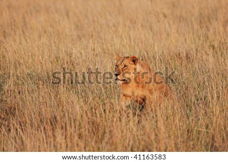 Male lion prowling the African plains in the early morning light.