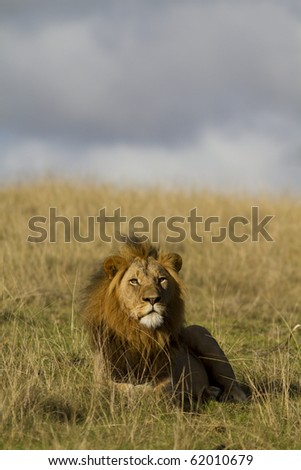 Male lion relaxes under blue sky - stock photo