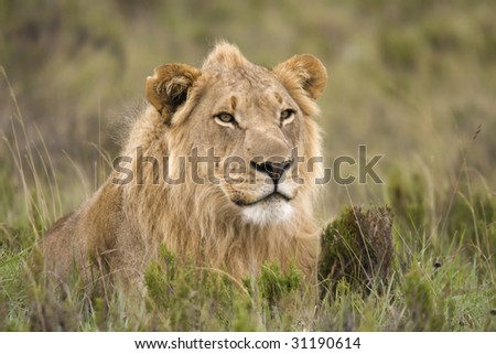 Male lion resting in the grass.