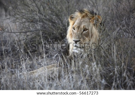 Male Lion resting in the grass - stock photo