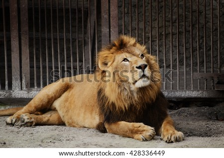Male Lion resting in the zoo - stock photo