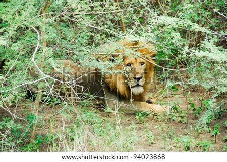 Male lion resting, Murchison Falls National Park (Uganda) - stock photo