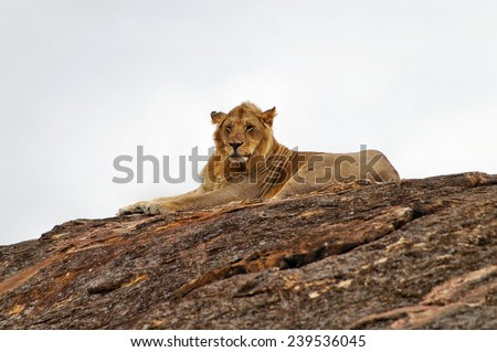Male lion resting on big rock at Maasai Mara National Park, Kenya - stock photo