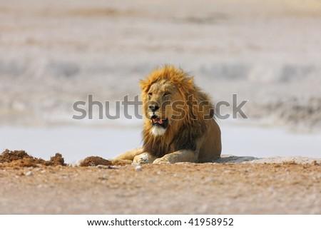 Male lion resting on salt pans of Etosha; panthera leo - stock photo