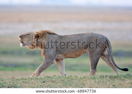 Male Lion Roaring, Chobe National Park, Botswana - stock photo