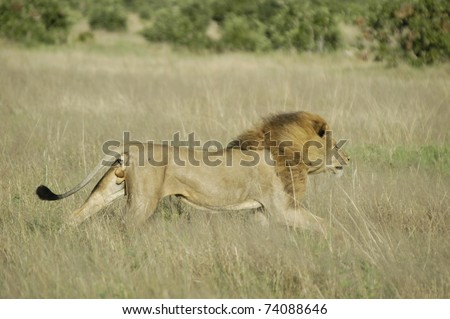Male lion running - stock photo