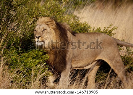 Male Lion Scent Marking - stock photo