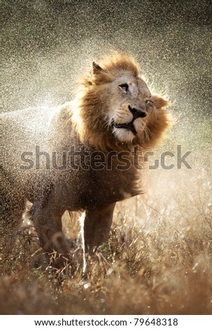 Male lion shaking off the water after a rainstorm - Kruger National Park - South Africa - stock photo