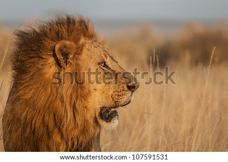 Male Lion side view - stock photo