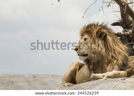 Male lion sitting on a rock facing sideways, at Serengeti National Park, Tanzania - stock photo