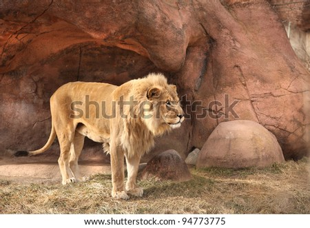 Male Lion Standing Alone Felidae Panthera leo - stock photo