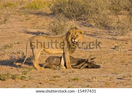 Male lion standing at his prey; Panthera leo; Kalahari desert; South Africa - stock photo