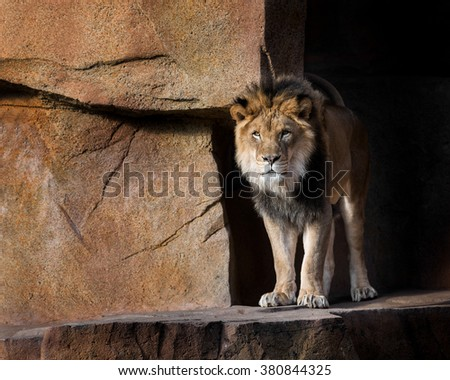 Male lion standing in shadows on rocky wall - stock photo