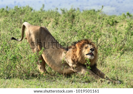 Male lion stretching out