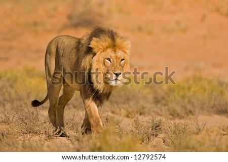 Male lion walking in dry riverbed; Panthera leo; Kalahari desert; South Africa - stock photo