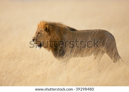 Male lion walking in the tall grass ; panthera leo - stock photo