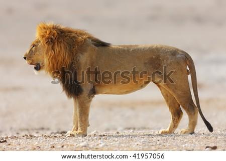 Male lion walking on rocky soil in Etosha desert ; panthera leo - stock photo