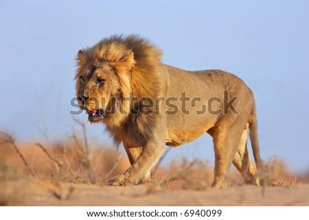 Male lion walking on sand dune; panthera leo; Kalahari desert; South Africa - stock photo
