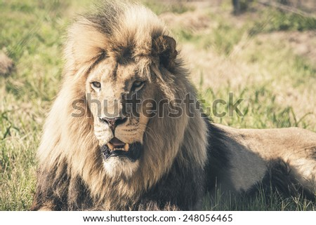 Male lion with big mane lying in grass. Mpongo game reserve. South Africa.