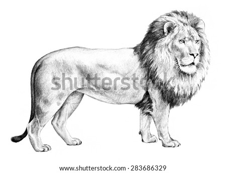 male lion with big shaggy mane illustration, hand drawn pencil sketch in black isolated on white background, nature clip-art, detailed drawing of single lion standing, big cat from Africa - stock photo