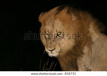 Male lion with fierce yellow eyes