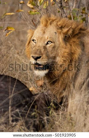Male lion with kill, Sabie Sands Game Reserve, South Africa