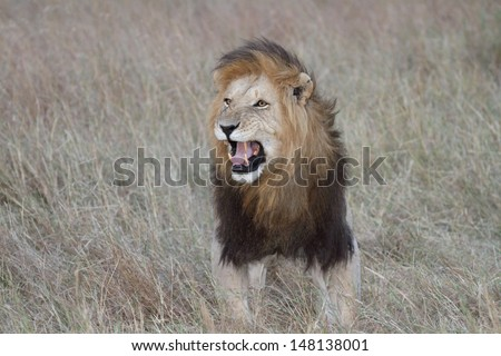 Male lion with open mouth in Flehmen response - stock photo
