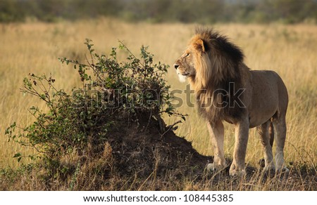 Male Lion with prey - stock photo