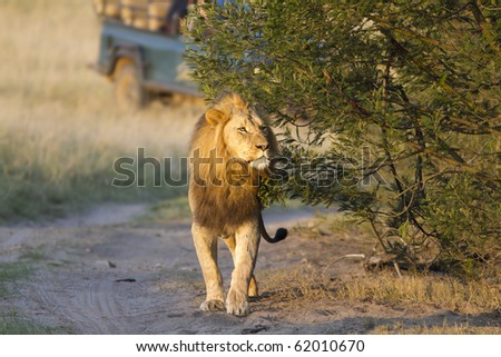 Male lion with safari vehicle in background