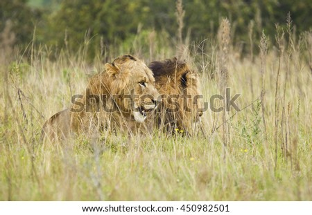 male lions lying in long dry grass resting in the summer sun - stock photo
