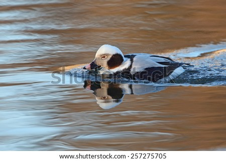 Male Long-tailed Duck (Clangula hyemalis) in Winter Plumage - Ontario, Canada - stock photo