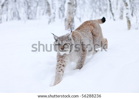 Male Lynx approaching through powder snow - stock photo