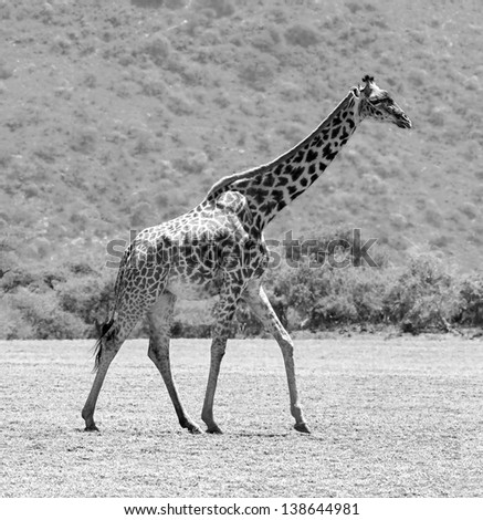 Male maasai giraffes in the Serengeti National Park - Tanzania, East Africa (black and white) - stock photo