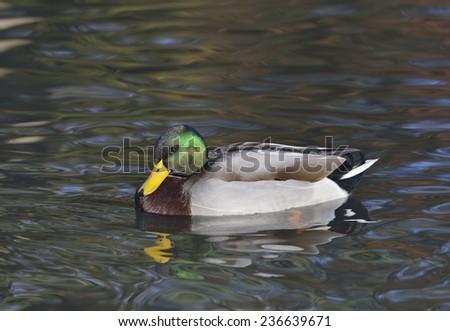 Male Mallard Duck - Anas platyrhynchoson water - stock photo