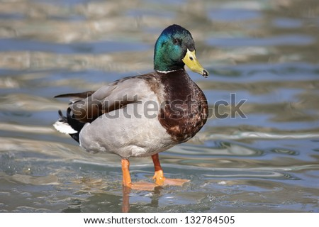 Male mallard duck (Anas platyrhynchus) - stock photo