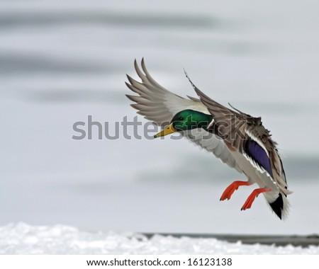 Male Mallard Duck Landing - stock photo