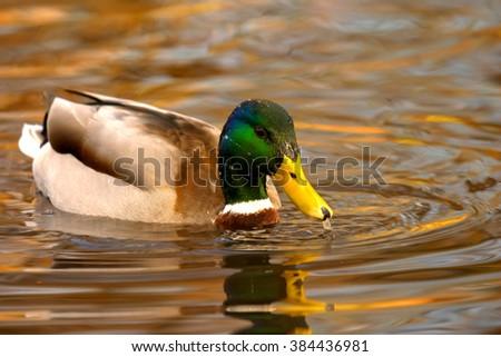 Male mallard duck on water - stock photo