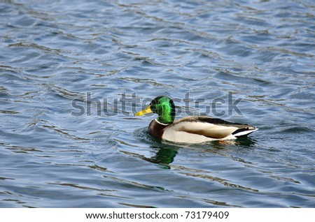 Male Mallard Duck swimming in a calm blue lake - stock photo