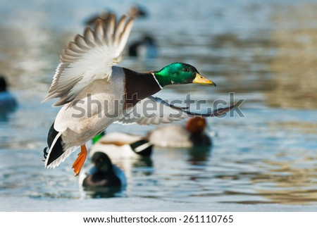 Male Mallard in flight coming in for a landing. - stock photo